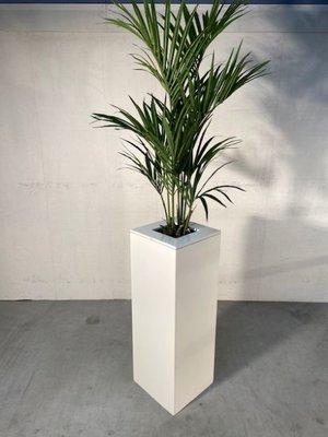 Kentiapalm in witte zuil hoog
