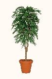Ficus plant (kunst)