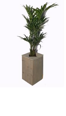 Kentiapalm in steigerhouten zuil groot (250cm)